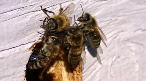 Gaurd Bees
